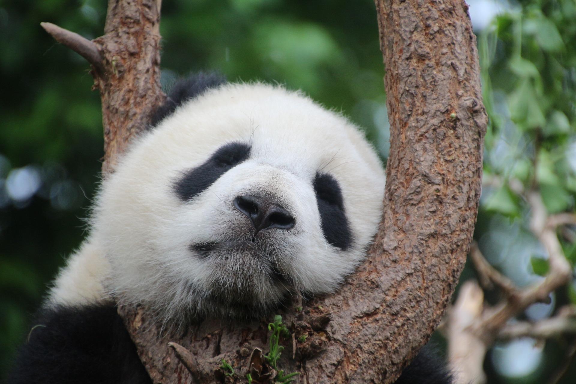Joli panda