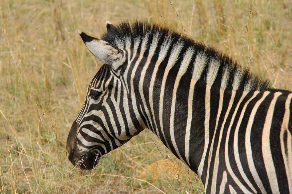 Zèbre, Afrique du Sud