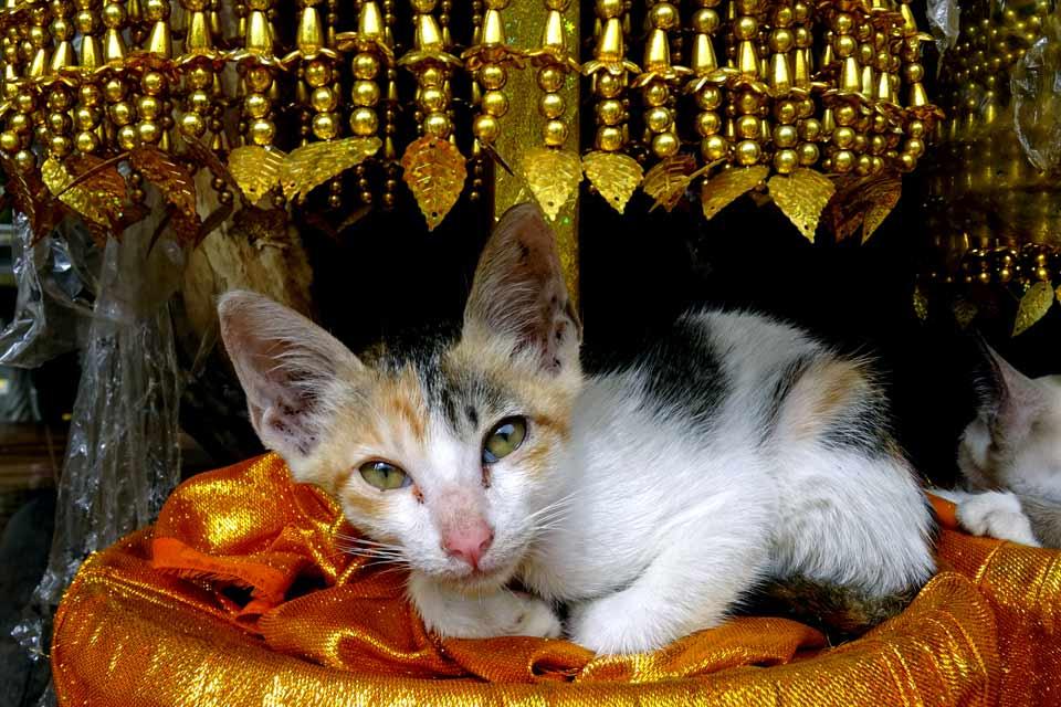Chat au Laos dormant dans un temple